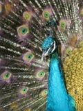 цветастый павлин Стоковое Изображение RF