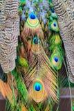 цветастый павлин пера Стоковое Изображение
