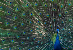 цветастый павлин Стоковое Фото