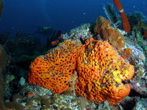 цветастый помеец коралла Стоковые Фотографии RF