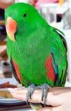 цветастый попыгай eclectus Стоковая Фотография RF