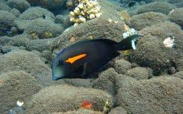 цветастый серый цвет рыб главным образом под водой Стоковая Фотография