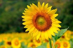 цветастый солнцецвет стоковая фотография