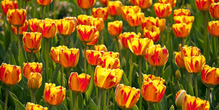 цветастый тюльпан поля Стоковые Изображения