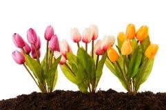 цветастый тюльпан почвы цветков Стоковое фото RF