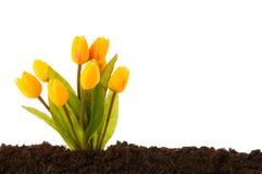 цветастый тюльпан цветков растущий Стоковое Изображение RF