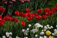 цветастый тюльпан цветков Стоковые Фотографии RF