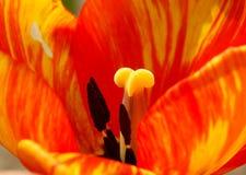 цветастый тюльпан Стоковая Фотография RF
