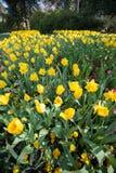цветастый тюльпан цветков Стоковое Изображение