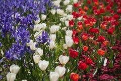 цветастый тюльпан цветков Стоковое Изображение RF