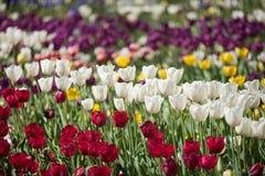 цветастый тюльпан цветков Стоковые Изображения RF