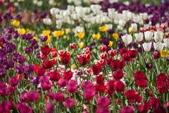 цветастый тюльпан цветков Стоковая Фотография RF