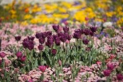 цветастый тюльпан цветков Стоковая Фотография