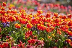 цветастый тюльпан цветков Стоковое Фото