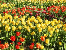 цветастый тюльпан цветков Стоковое фото RF