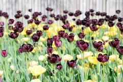 цветастый тюльпан Стоковое фото RF