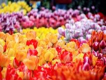 цветастый тюльпан Стоковое Изображение RF