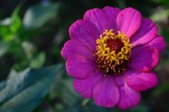 цветастый цветок Зацветите в саде на солнечном лете или весеннем дне Стоковое Изображение RF