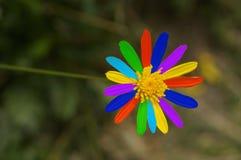 Цветастый цветок маргаритки Стоковые Фото