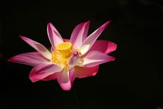 цветастый шток фото waterlily Стоковое фото RF