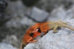 Цветастый Gecko Стоковая Фотография RF