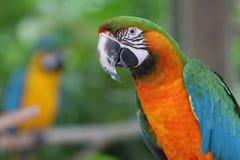 цветастый macaw Стоковое Изображение RF