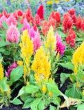 Цветастый plumed цветок cockscomb Стоковое Изображение RF