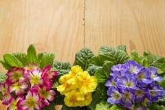 цветастый primula цветков Стоковое фото RF