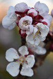 Цвета весны вишневых цветов Стоковые Фотографии RF