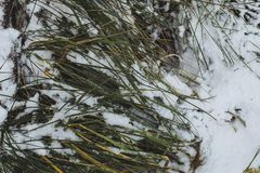 Цвета зеленого цвета заморозка зимы травы снега белые приправляют замерли деталь, который Стоковое Изображение