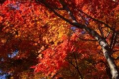 Цвета листьев осени, Японии Стоковое Изображение
