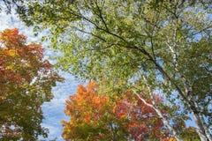 Цвета лист осени на дереве серебряной березы Стоковая Фотография RF
