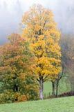 Цвета и березы осени стоковое фото