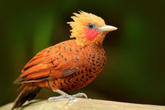 цвета Каштан Woodpecker, castaneus Celeus, птица кабанины с красным лицом от Коста-Рика Woodpecker с желтым гребнем и красным fac Стоковые Изображения