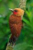 цвета Каштан Woodpecker, castaneus Celeus, птица кабанины с красным лицом от Коста-Рика стоковое изображение rf