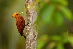 цвета Каштан Woodpecker, castaneus Celeus, птица кабанины с красным лицом от Коста-Рика Woodpecker с желтыми гребнем и красным цв стоковые фотографии rf