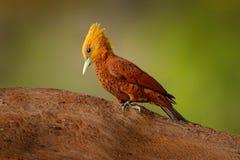 цвета Каштан Woodpecker, castaneus Celeus, птица кабанины с красным лицом от Коста-Рика Woodpecker с желтыми гребнем и красным цв стоковая фотография rf