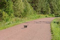 цвета 3 кот пересекает дорогу Острова Aland, Финляндия Стоковое Фото
