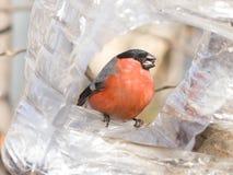 цвета Красно мужчина евроазиатского портрета конца-вверх pyrrhula Pyrrhula Bullfinch на фидере птицы, селективном фокусе, отмелом Стоковое фото RF