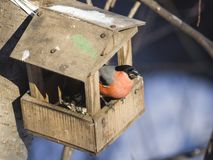цвета Красно мужчина евроазиатского pyrrhula Pyrrhula Bullfinch, портрета конца-вверх на фидере птицы, селективном фокусе, отмело Стоковые Фотографии RF