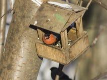 цвета Красно мужчина евроазиатского pyrrhula Pyrrhula Bullfinch, портрета конца-вверх на фидере птицы, селективном фокусе, отмело Стоковое Изображение RF