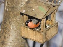цвета Красно мужчина евроазиатского pyrrhula Pyrrhula Bullfinch, портрета конца-вверх на фидере птицы, селективном фокусе, отмело Стоковая Фотография