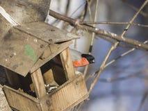 цвета Красно мужчина евроазиатского pyrrhula Pyrrhula Bullfinch, портрета конца-вверх на фидере птицы, селективном фокусе, отмело Стоковые Изображения