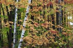 Цвета листьев на дереве белой березы изменяя в осени стоковое изображение