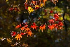 Цвета осени кленовых листов в подсвеченном Стоковая Фотография RF