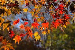 Цвета осени кленовых листов в подсвеченном Стоковые Фотографии RF