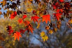 Цвета осени кленовых листов в подсвеченном Стоковая Фотография