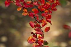 Цвета осени кустов Стоковая Фотография
