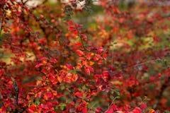 Цвета осени кустов Стоковое Изображение