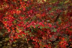 Цвета осени кустов Стоковое Изображение RF